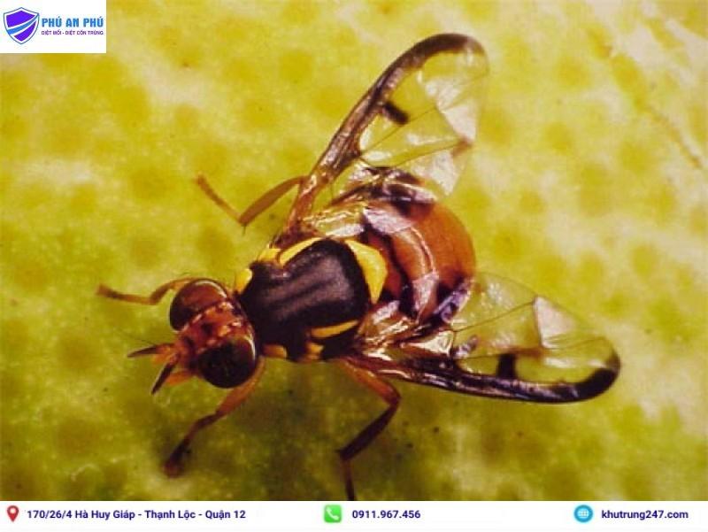 Tổng hợp các cách diệt ruồi vàng đục quả, hại mướp